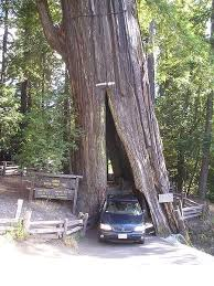 you can still drive your car though them check out the shrine drive through tree and the chandelier drive through tree just before the humboldt forest