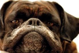 how to fix boxer acne boxer dog diaries