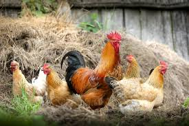 Different Types Of Chickens Chart Top 13 Best And Most Productive Egg Laying Chicken Breeds