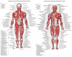 bones and muscles body chart tag human bones and muscles diagram    bones and muscles body chart tag human bones and muscles diagram human anatomy diagram