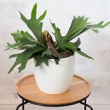 Staghorn Fern Low Light Staghorn Fern Best Indoor Plants Hanging Plants Indoor