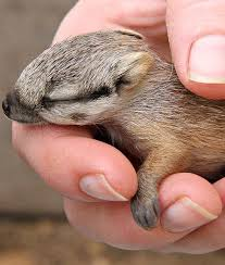 Small Picture 32 best N n as in numbat images on Pinterest Australian animals