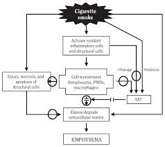Pathophysiology Of Emphysema Flow Chart Figure 7 18 Pathogenesis Of Smoking Induced Pulmonary
