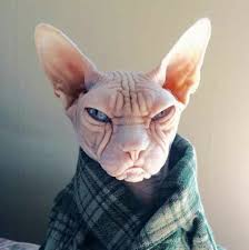 angry hairless cat. Simple Angry Funny Cats Cute Ugly Animals Sphinx Cat Hairless Inside Angry Cat