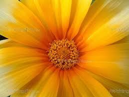 Resultado de imagem para flor margarida
