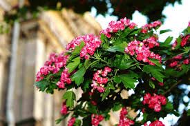 flowering trees for your landscape