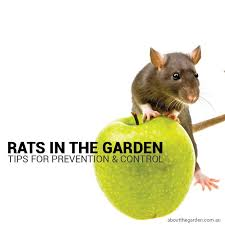 controlling rats in the garden