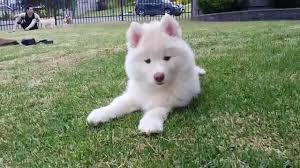 fluffy white husky puppy. Delighful White Inside Fluffy White Husky Puppy YouTube