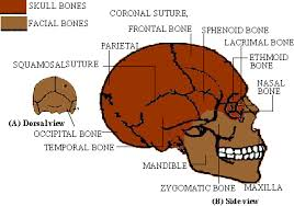 com biology study guide axial skeleton click here to enlarge