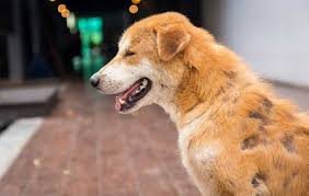 Dog Hair Loss Home Remedies - A Simple Guide | HolistaPet