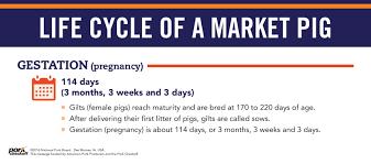 Pig Feeding Chart By Age Pdf Life Cycle Of A Market Pig Pork Checkoff