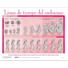 You Will Love Baby Growth Chart From Conception Fetal Growth