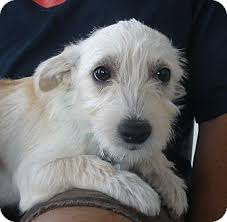 white terrier mix puppies. Contemporary Mix Adopted With White Terrier Mix Puppies