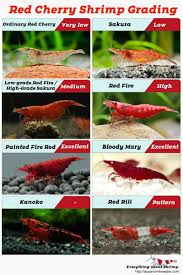 Red Cherry Shrimp Grading With Pictures Shrimp And Snail