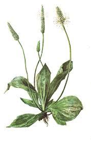 Урок Окружающий мир класс Тема Лекарственные растения  Тема Лекарственные растения родного края
