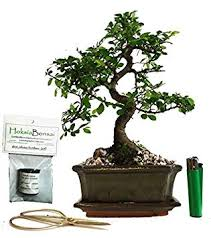 chinese elm basic indoor outdoor bonsai tree gift set ce15sg amazon co uk garden outdoors
