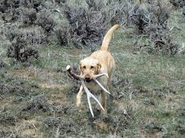 among the shed hunting dog breeds available the labrador retriever is one of the most