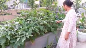 Rooftop Kitchen Garden Brinjal On Rooftop Garden Youtube