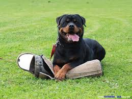 pitbull dog vs doberman.  Doberman Rottweiler Guard Dog To Pitbull Vs Doberman E