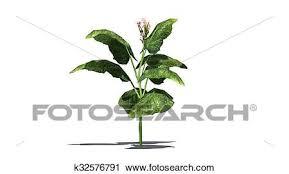 tobacco plant clipart. Modren Tobacco Clipart  Tobacco Plant On White Background Fotosearch Search Clip Art  Illustration Murals Throughout Tobacco Plant C