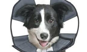 Comfy Cone Pit Bull Terrier In Petco Petsmart Xl Amazon