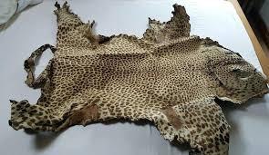 cheetah skin rug real leopard interior design hide head