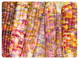 glass gem heirloom corn i never really thought i d want to grow much corn until today