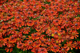 25 best fall flowers and plants for an