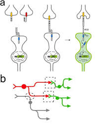 tracing neuronal circuits in transgenic animals by transneuronal tract using ligand induced intramembrane proteolysis to reveal circuits of neurons connected by synapses