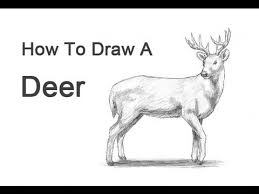 how to draw a deer white tailed
