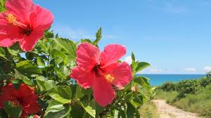 hibiscus flowers magical herbs hibiscus flowers youtube