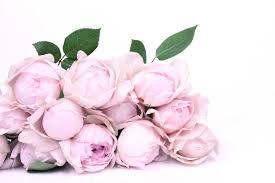 garden roses. Peony Pink Rose, Garden Fragrant Roses