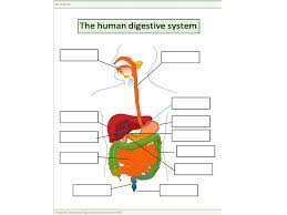 The Human Digestive System Worksheet by harvey1993 - Teaching ...