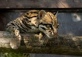 ocelot size ocelot leopardus pardalis santago photo page everystockphoto