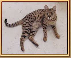 savannah cat chart c and c savannahs frequently asked questions