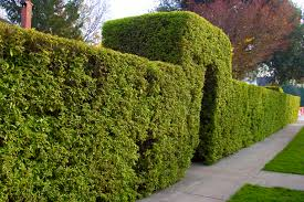 Charming Best Evergreen Trees For Privacy 80 On Awesome Room Decor