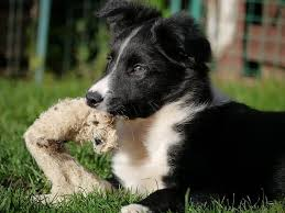 best food for border collie puppy 2020