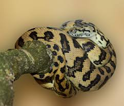 Snake With Diamond Pattern New Free Images Nature Pattern Scale Close Australia Eye