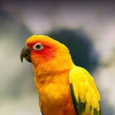 Sun Conure Personality Food Care Pet Birds By Lafeber Co