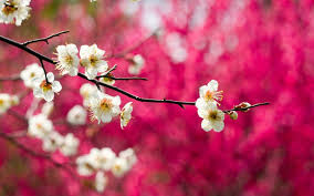 spring nature background hd. Wonderful Nature 6000x4056 Wallpaper Twigs Flowers Pink Bloom Spring Wallpapers Flowers  In Spring Nature Background Hd L