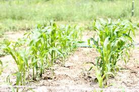 Growing Popcorn How To Grow Popcorn The Frugal Farm Wife