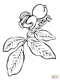 Small Picture Walnut Tree Branch coloring page Free Printable Coloring Pages