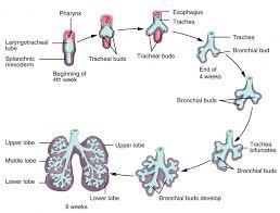 Respiratory system as mature