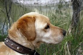 Golden Labrador dog Stock Photo