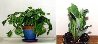 The prayer plant on the left is how it looks during the day, but