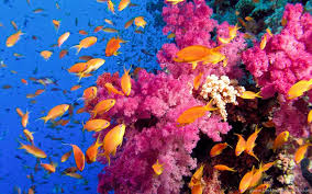 colorful coral reef wallpaper. Colorful Coral Reef Wallpapers With Fishes 1004 Desktop Background Intended Wallpaper