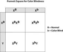 How Can A Punnett Square For Color Blindness Be Created Quora