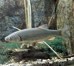Рыба уклейка фото описанием внешнего вида и образа жизни уклейки Голавль пресноводная рыба ее фото и описание