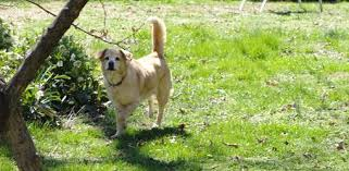 Dog Problems In Garden Damage To Lawn Caused By Dog Urine Stock
