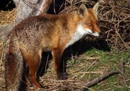 Billedresultat for en de vossen hebben holen